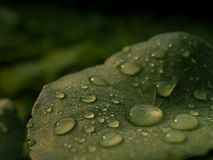 Dew on Centella asiatica after the rain Royalty Free Stock Images
