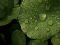 Dew on Centella asiatica after the rain Stock Photos