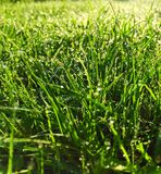 Dew on grass in the morning. Dew clinging to green lush grass in the morning sun Royalty Free Stock Photos