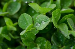 Dew on clover. Fresh dew on a field of clover Royalty Free Stock Photography