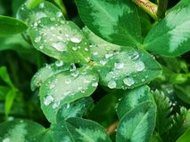 Dew on clover royalty free stock photography