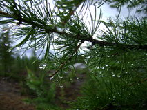 Dew on coniferous branch. Dew drops on the branch of spruce Royalty Free Stock Photo