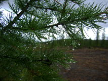 Dew on coniferous branch. Dew drops on the branch of spruce on a background of the sky Stock Photography
