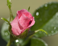 Dew coved pink rosebud Royalty Free Stock Images