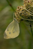 A dew-covered cabbage butterfly Stock Images
