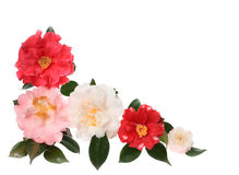 Dew Covered Camellia Border Isolated on White Stock Photos