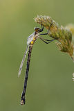 Dew-covered damselfly Royalty Free Stock Image