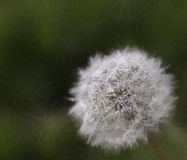 A dew covered dandelion Stock Images