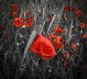Dew covered deep red poppies in a field Royalty Free Stock Photography