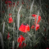 Dew covered deep red poppies in a field Stock Images