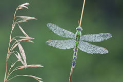 Dew Covered Dragonfly Royalty Free Stock Photography