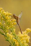 A dew covered dragonfly rests on goldenrod Stock Image