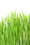 Dew covered green grass. Side view of dew covered green grass with white background Stock Images