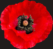 Dew covered isolated poppy head Stock Photo
