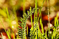 Dew covered lawn vegetation. Extreme close up of dew covered grass and vegetation in the golden morning light royalty free stock photos