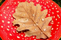 Dew covered leaf on red toadstool. Close up of dry brown fall leaf on red toadstool cap with dew drops Royalty Free Stock Photography
