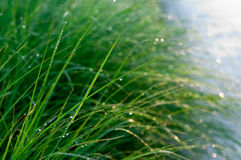 Dew covered long green grass. Spring. Royalty Free Stock Photo