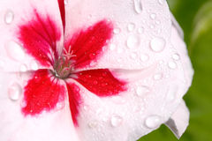 Dew covered pink and white geranium. Closeup of the pistil of a pink and white geranium covered with dew. green out of focus background; beautiful backdrop for royalty free stock photos