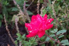 Red rose. Dew covered red double knockout rose Stock Photos