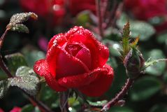 Dew covered red rose royalty free stock image
