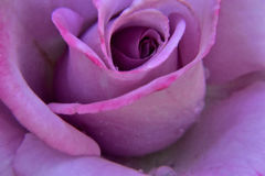 Dew covered rose Royalty Free Stock Photos