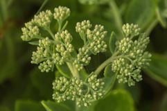 Dew covered sedum flower buds abstract closeup stock image