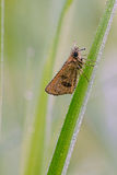 Dew covered skipper on grass blade Royalty Free Stock Photography
