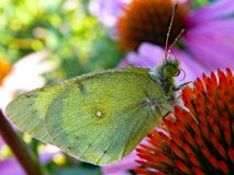 Dew-covered sulphur butterfly on cone flower Stock Image