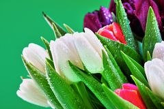 Dew covered tulip flowers. Close up of blooming, dew covered tulip flowers with green background Stock Image