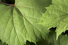 Dew covered wild grape leaf. '. Vitis riparia stock photography
