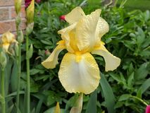 Dew covered yellow iris. Early morning dew on yellow iris bloom stock image