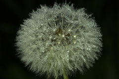 Dew on Dandelion Royalty Free Stock Photography