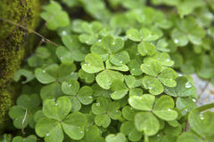 Dew Dappled Clover. Clover in with dew drops await the morning sun in a Central Florida garden. This image shows the three leaf clover plants in medium close-up Royalty Free Stock Photography