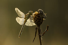 Dew on a dragonfly Stock Photos