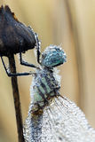 A dew-drenched dragonfly Royalty Free Stock Photo
