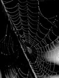 Dew Drenched Spider Web. Spider web that is drenched with dew. Water drops sparkle. Black and white. High contrast royalty free stock image