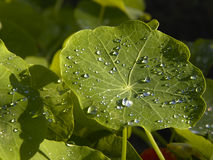 Dew drips on a nasturtium leaf Royalty Free Stock Images
