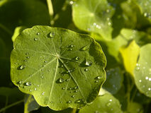 Dew drips on a nasturtium leaf Royalty Free Stock Photography