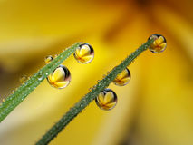 Dew Drop Stock Photography