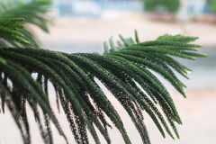 Dew drop on araucaria heterophylla leaf. On blurred background Stock Image