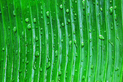 Dew drop on banana leaf close up Royalty Free Stock Photo