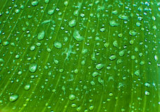 Dew drop in banana leaf Royalty Free Stock Images