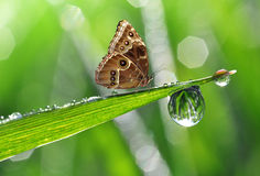 Dew drop and butterfly Stock Image
