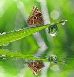 Dew drop and butterfly Morpho Royalty Free Stock Photography