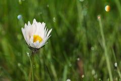 Dew drop on daisy flower. Water dew drop on daisy flower Stock Photography