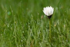 Dew drop on daisy flower. Water dew drop on daisy flower Stock Image
