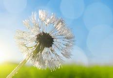 Dew drop on dandelion flower Stock Photography