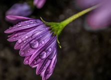 Dew Drop Drooping Daisy. Rain drops and morning dew on a Drooping purple Royalty Free Stock Images