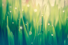 Dew drop on fresh wheatgrass with nature bokeh, For nature backg. Round, Concept refresh in morning Royalty Free Stock Image