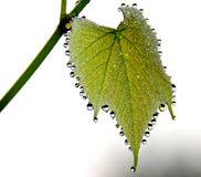 Dew drop on grape leaf. Morning dew drops on grape leaf Stock Photos